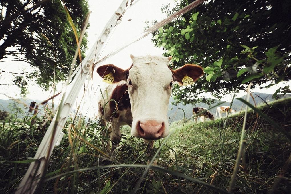 Auf dem Bild sieht man eine Kuh die direkt in die Kamera schaut. Im Hintergrund sind weitere Kühe die auf einer Wiese am Tegernsee grasen.